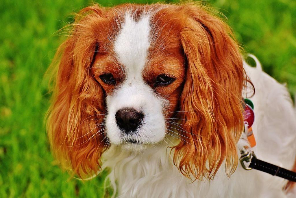 allevamenti cani piccola taglia