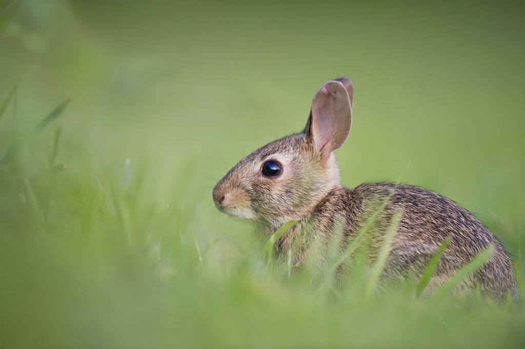 accoppiamento conigli