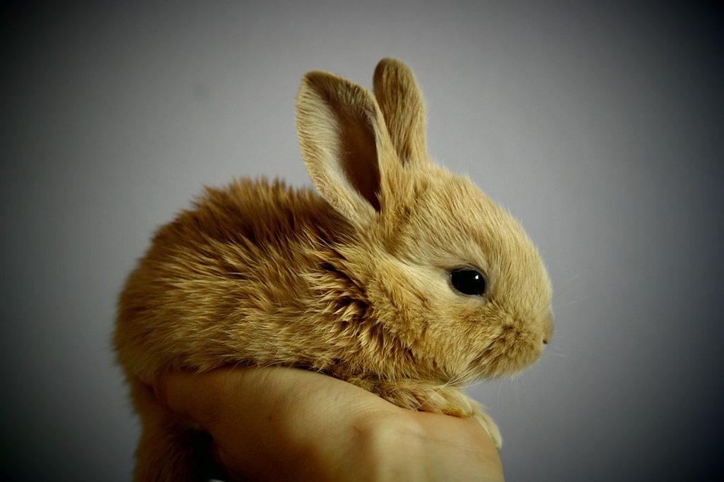 orecchie coniglio