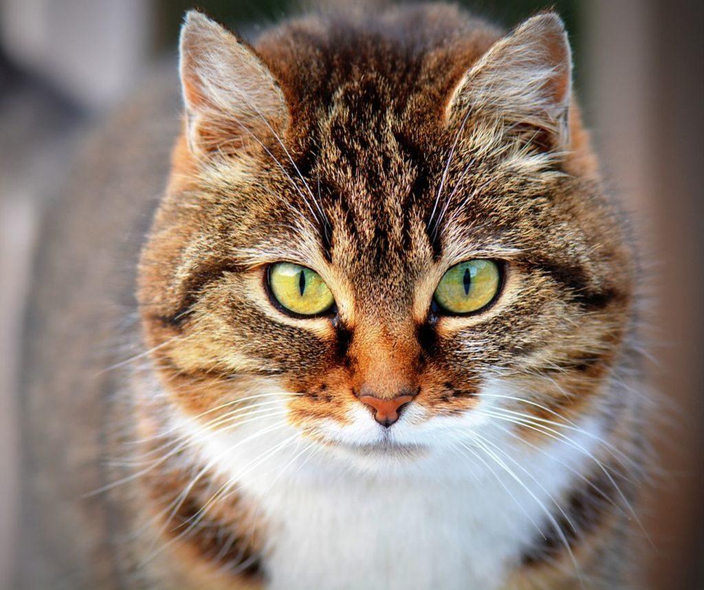 allevamento di gatti