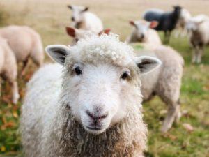 pecore da latte