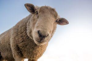 allevatore pecore