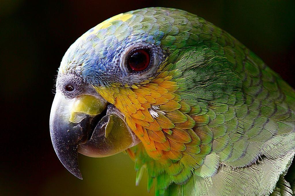cosa mangia il pappagallo