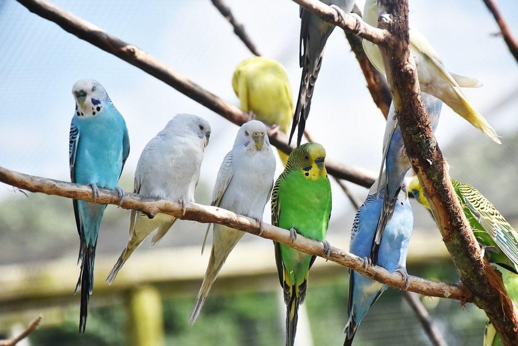pappagalli cosa mangiano