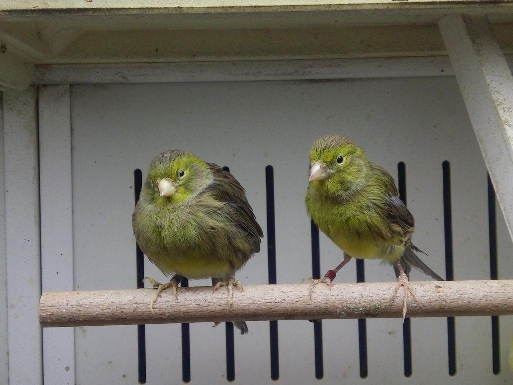 allevamento uccelli