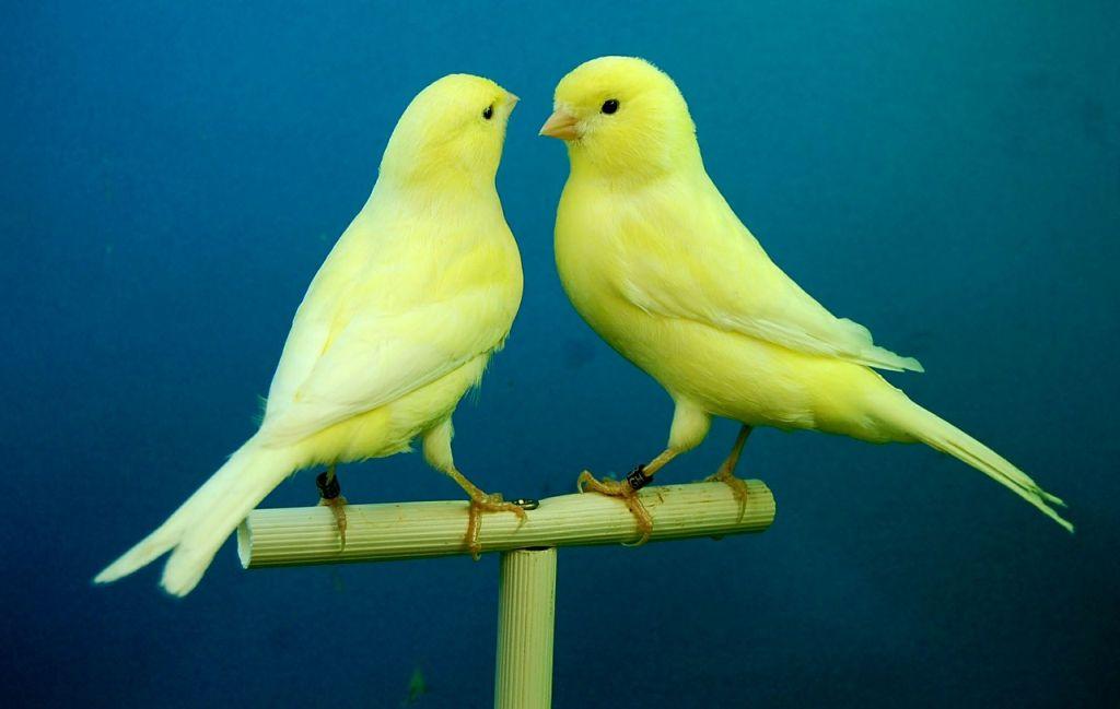 uccelli da compagnia